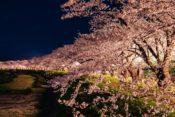 2020年上田城桜祭りの屋台時間は?開花状況と駐車場、夜のライトアップも紹介!