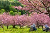 2020年上堰潟公園の桜の開花状況は?アクセス方法と駐車場、taibowcoffeeも紹介!