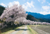 2020年須坂市臥竜公園桜祭りの開花予想と見頃時期は?お花見の駐車場と屋台も紹介!